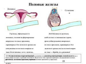 Нет одного яичника, расшифровка гормонов