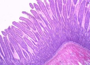 Гистология кишечника