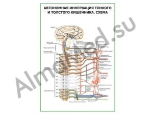 Нервы и кишечник