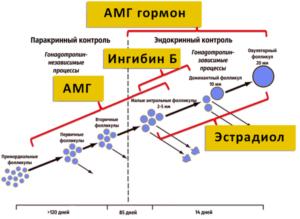 Низкий АМГ и Ингибин В